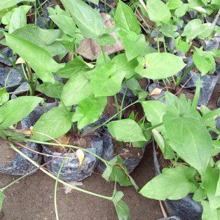 Bibit tanaman keladi tikus, dapat 2 tanaman keladi tikus