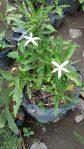 Bibit Tanaman Kitolod untuk katarak / dapat 2 bibit tanaman kitolod