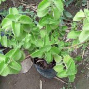 Bibit tanaman jinten