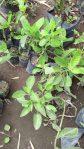 Bibit tanaman sembung nyawa