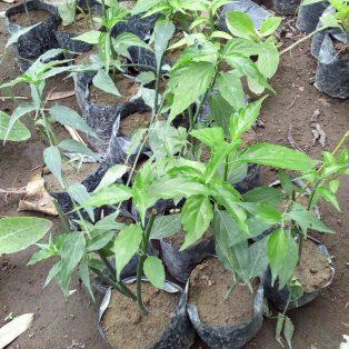 Bibit tanaman dandang gendis untuk kesehatan nama latin ( Cilanacanthus nutans lindau )