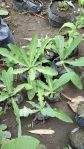 Bibit tanaman daun tempuyung untuk batu ginjal ( Sanchus arvensis )