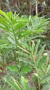 jual bibit tanaman kapulaga