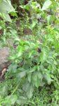 Bibit tanaman Teh hijau