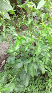 jual tanaman teh hijau