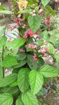 Tanaman bunga nona makan sirih / clerodendrom thomsonae balf f