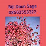 Biji daun Saga atau Sogok Tunteng