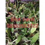 Bibit Tanaman Vanili / dapat 3 bibit tanaman vanili harga 90.000