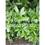 Bibit Tanaman Ginseng jawa / Som Jawa