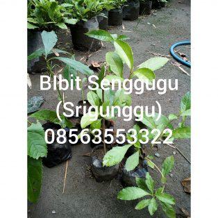 Bibit tanaman senggugu / srigunggu ( ada 2 pilihan harga )