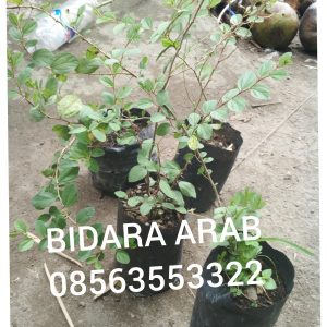 bibit,tanaman,daun,bidara,arab