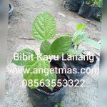 Bibit tanaman kayu lanang