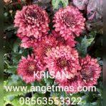tanaman bunga krisan atau seruni