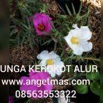 Tanaman bunga kerokot Alur (dapat 2 tanaman kerokot alur )