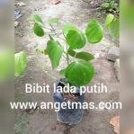 Bibit tanaman lada Putih