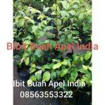 Bibit tanaman buah apel india hasil setek atau persilangan tanaman bidara arab