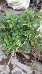 bibit tanaman valeriana / valerianae radix