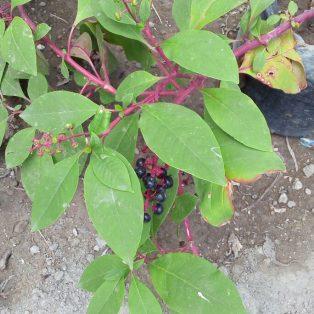 Bibit Tanaman Ginseng Meerah Korea