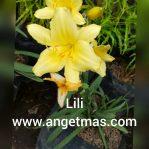Tanaman hias bunga lily