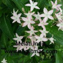 tanaman bunga melati india
