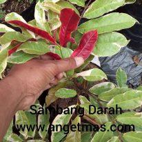 tanaman sambang darah