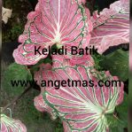 Tanaman Bunga keladi batik / keladi hias batik
