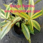 tanaman bunga bambu
