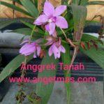 Bibit tanaman bunga anggrek tanah