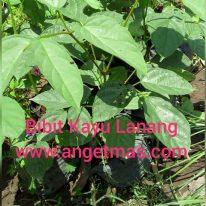 tanaman kayu lanang
