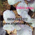 Tanaman Gubis Ungu / Sayuran gubis ungu