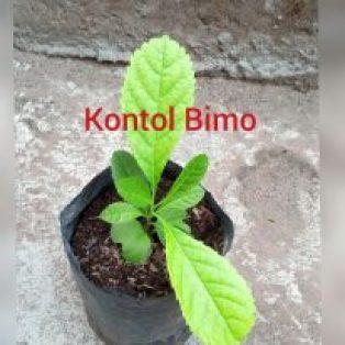 Bibit tanaman kontol bimo