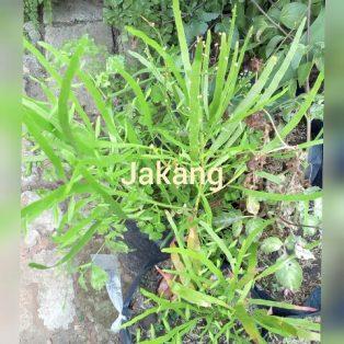 Bibit Tanaman Jakang nama latin Muehlenbeckia platyclada