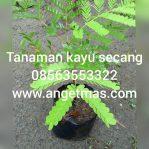 Bibit tanaman kayu secang