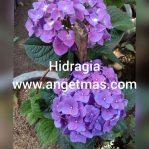 Tanaman hias bunga Hidrangea / hidragia
