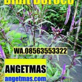Bibit tanaman boroco untuk kesehatan ( Celosia Argentea Linn )