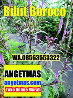 jual bibit tanaman boroco untuk kesehatan