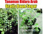 Bibit tanaman bidara arab gratis daun segar bidara arab