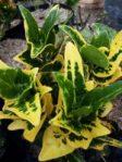 tanaman bunga puring batik
