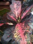 Tanaman bunga puring bintang 9