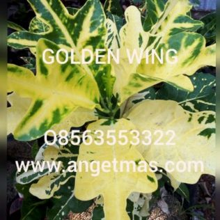 tanaman puring golden wing