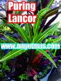 tanaman puring lancor