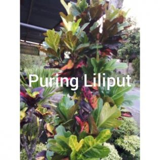 bunga puring liliput