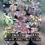 Bibit tanaman buah kelengkeng merah