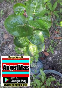 Bibit tanaman mangkokan