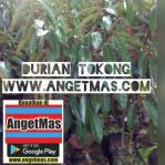 Bibit tanaman buah durian sitokong