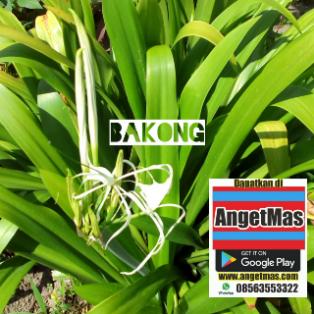 Bibit tanaman bakung