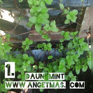 Bibit tanaman daun mint, dapat 2 jenis tanaman daun mint