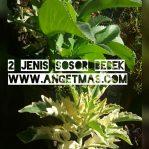 Bibit tanaman sosor bebek, dapat 2 jenis tanaman sosor bebek