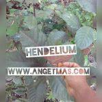 Bibit tanaman hendelium