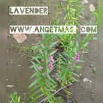 Tanaman bunga lavender